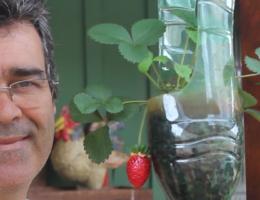 mostrar plantas de morango irrigados
